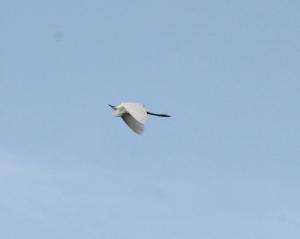 kuntul bird